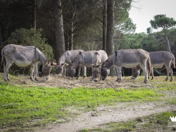 L'asino sardo a Ortueri: da prezioso collaboratore familiare a tenero amico